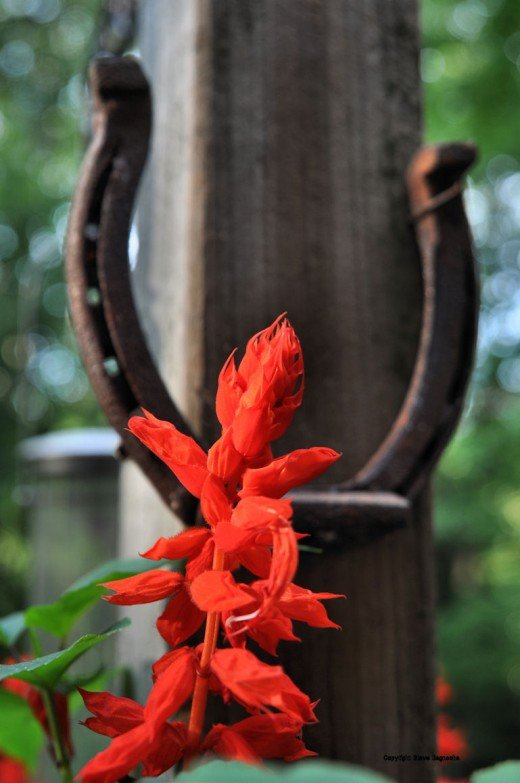 The red flower of salvia sometimes attracts hummingbirds. Photographing a hummingbird feeding at the plants remain a challenge and a goal.