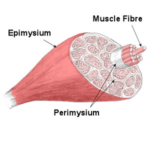 "Close look on a ""muscle fibre"""