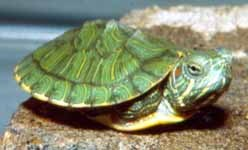 Pet Turtles are easy to care for