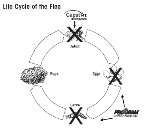 Use Capstar to kill adult fleas and Program to prevent the development of flea eggs and larvae to break the life cycle.