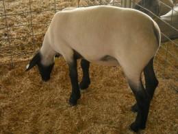 A summer buzz for a lamb.