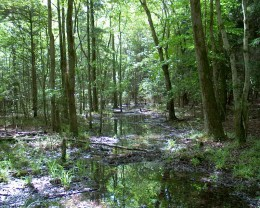 This is a beautiful picture of the swamp areas we could explore with caution.  Where we also cut cypress knees and sold them to tourists as they drove south on Highway 90.  Peeled cypress knees were beautiful souvenirs and that was my spending money.