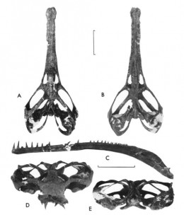 The skull of Champsosaurus in multiple views. Modified from Erickson, B. R. 1985. Aspects of Some Anatomical Structures of Champsosaurus (Reptilia: Eosuchia).