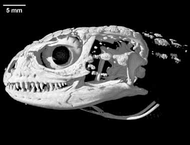 The skull of the living crocodile lizard, Shinisaurus. Compare with fossil choristoderes, and particularly Lazarussuchus. It is clear that these are not the same animals. Image modified from DigiMorph.