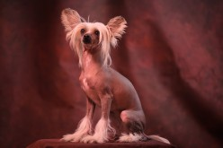 Hairless and Beautiful! The Chinese Crested Dog Breed!