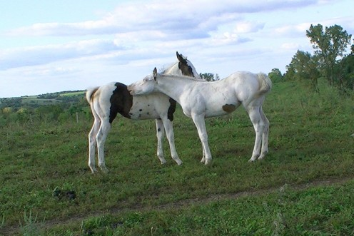 Two weanlings, the nearly all-white one is my tovero American Paint Horse filly, enjoying a scratch in the pasture.