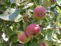 How to Prepare Apples for Pies and Desserts: Canning Your Apples