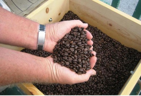 Beautiful freshly roasted Kona coffee beans