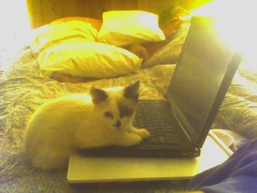 "Here is another picture of one of my ""laptop"" kitties. Shasta liked to work ON the computer though."
