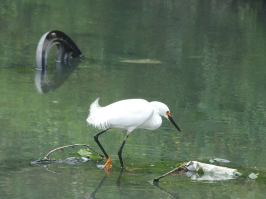 Great white egret,Port of Spain Trinidad and Tobago