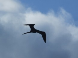 Magnificent frigate bird (Man o' War), Rocky Point, Jamaica