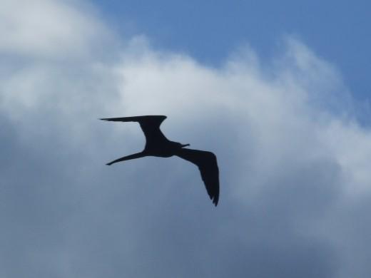 Magnificent frigate bird (Man o' War), Rocky Point, Jamaica