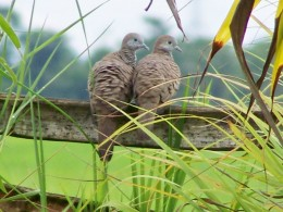 Inca doves at home (Philippines)