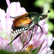 Japanese beetle photograph by Bruce Marlin