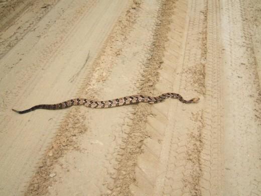 Canebrake(timber rattlesnake)