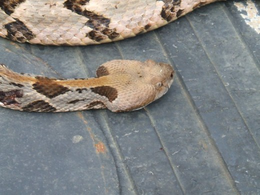 Close-up of a canebrake rattler's head