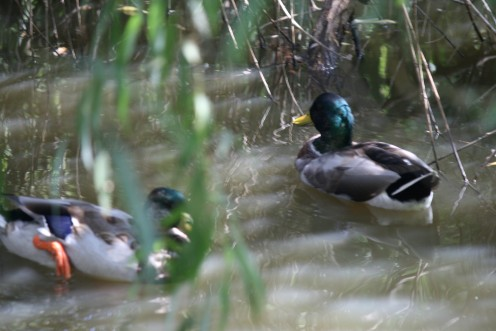I recognize the green heads and black & whitw neckrings to be Mallards.  I will be back this winter to see if they fly south or can't bear to leave these surroundings...