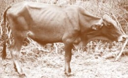 Cow infected with lungsickness