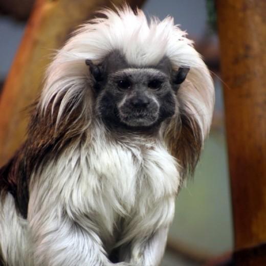 Cotton Top Marmoset Monkey