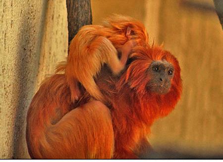 Golden Lion Tamarin Monkey with her baby.