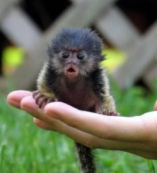 Pygmy Marmoset Monkey, the smallest monkey on earth!
