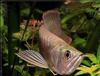 The dragonfish arowana.
