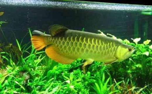 The mouthbrooder dragon fish arowana for Freshwater dragon fish