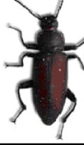 Mature Beetle