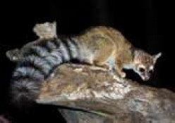 Ring Tailed Cat