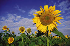 Sunflower seeds may also be boiled, making a similar mucilage.