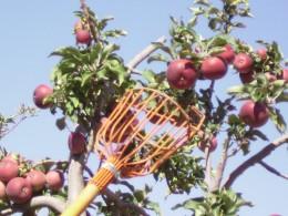 Picking apples in Arizona