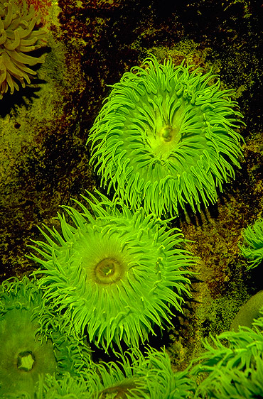 Green Anemone - Algae lives inside this plant