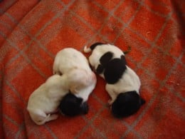 Three new-born pointer pups