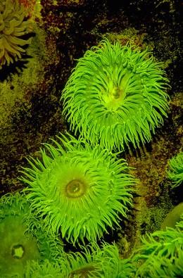 Green Anemone - Algae lives inside this plant