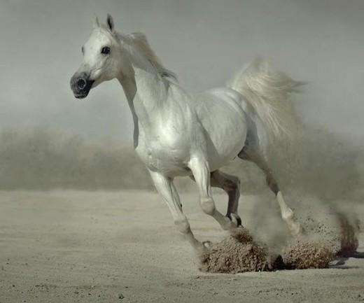White arabian horse - photo#15
