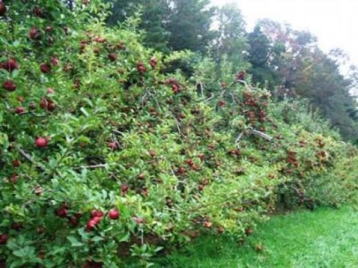 Apple Picking Time In North Carolina