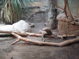 Komodo Dragon in cage at Seattle's Woodland Park Zoo