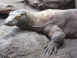 What Makes Komodo Dragons Deadly? Is It True Komodo Dragons Can Develop From Unfertilized Egg Cells?