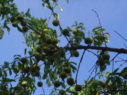 This has been a superb year for Fruit. Peaches ripening in the orchards behind our gite.
