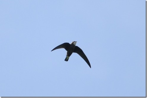 Fastest Bird in the World Spine Tailed Swift 171 KMPH
