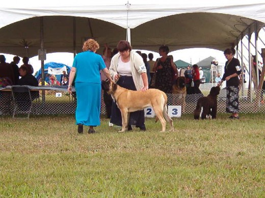 My sister, doing working group puppy  - this means she won best puppy in her breed and then went to working  group. If she wins at group, (which she didn't, beaten by a malemute puppy) she will go to best in show.