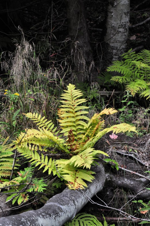 This lone fern at the end of a downed tree across the creek has been changing color faster than other ferns at creekside.