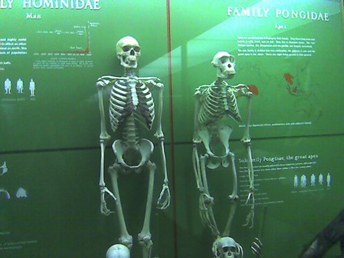 Here is a skeleton of a human and a primate side by side.  Are they not almost identical in structure?