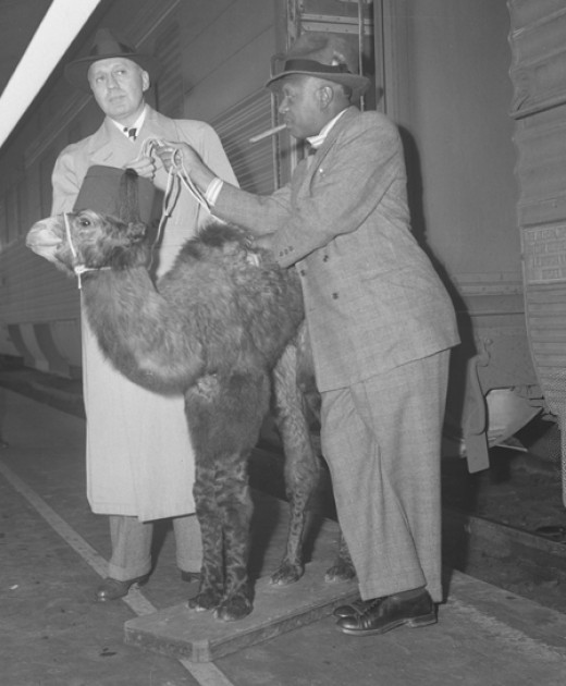 Eddie Anderson (Rochester) and Jack Benny with a camel costar.