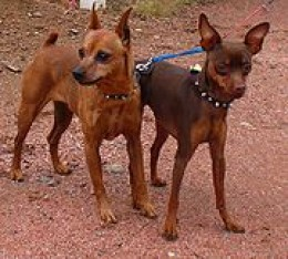 Tan and Chocolate Brown MinPins