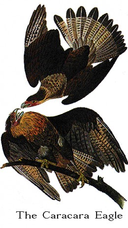 Marvellous if slightly imaginative picture of two caracaras.  I could find no artist to credit with this true work of art.