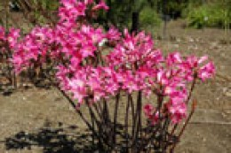 Naked Ladies growing wild in South Africa.