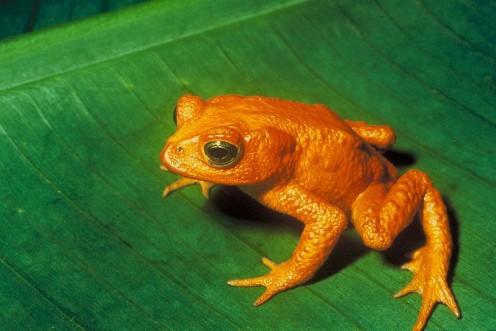 Golden Toad - Now Extinct.