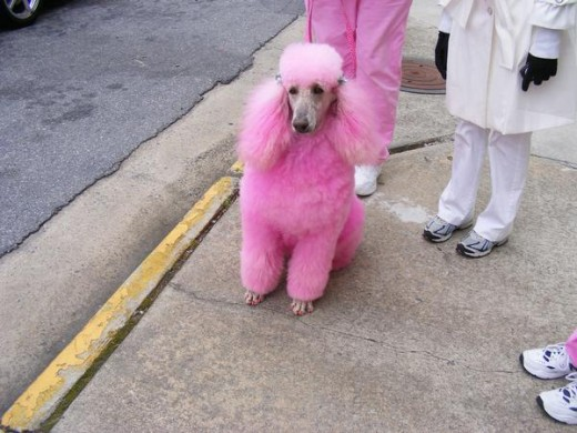 Pink poodle, anyone?