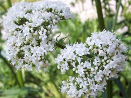 Valerian is used against sleeping disorders, restlessness and anxiety, and as a muscle relaxant.